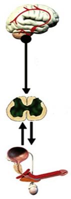 Передчасна еякуляція, схема імпульсів
