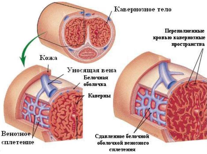 Процесс блокировки оттока крови по венам члена